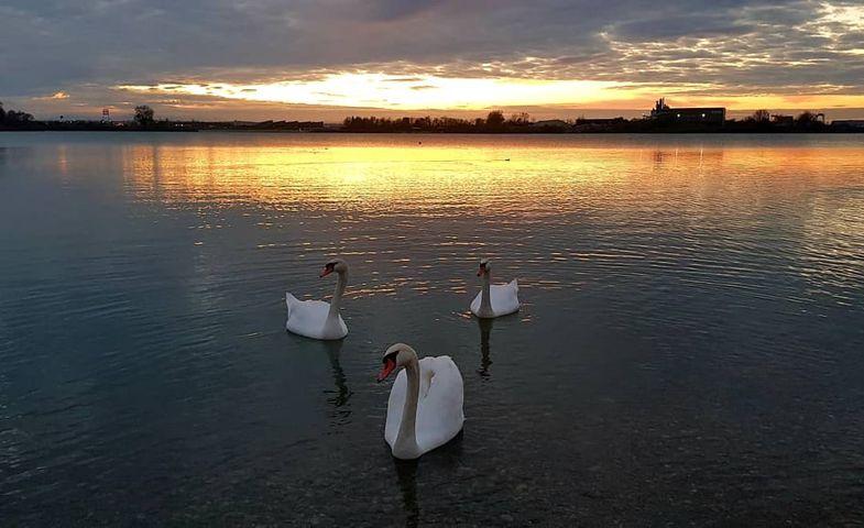 slika labodov na vodi ob sončnem zahodi